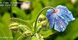 1418727124_blue-poppy-1