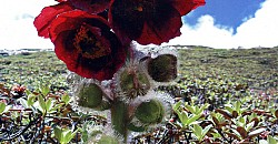 Rear Flowers found in Western Nepal and in Kharta valley of Tibet