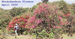 Red & Pink Rhododendron